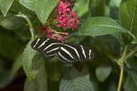 Zebra Butterfly in the Butterfly Garden at the Museum of Science, Boston, MA