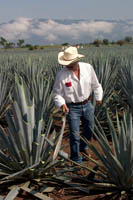 A jimador (agave harvester) demonstrates how to to trim the points off a Weber blue agave plant used to make tequila at the Jose Cuervo plantation near Tequila, Mexico.