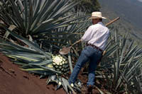 "A jimador (agave harvester) demonstrates how to harvest the pińa or ""pineapple"" of a Weber blue agave plant used to make tequila at the jose cuervo plantation near Tequila, Mexico."