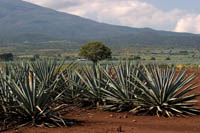 Fields of blue agave on the Cuervo plantation near Tequila, Mexico.