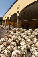 A pile of blue agave &quot;pineapples&quot; at La Rojea, the Jose Cuervo Tequila Distillery in Tequila, Mexico.