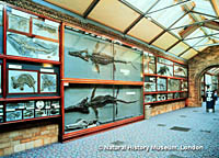 Fossils of prehistoric sea animals line the wall at the Natural History Museum in London.