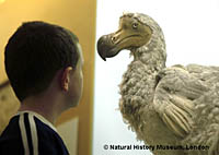 Boy meets dodo at the Natural History Museum of London.