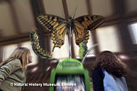 Girls look at a giant butterfly at the Natural History Museum in London.