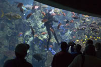 A scuba diver descends into the Tropical Reef exhibit at the Aquarium of the Pacific, Long Beach, CA