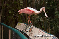 A friendly roseate spoonbill in the Tropical Forest ecosystem in the Montreal Biodôme. Š Kayte Deioma