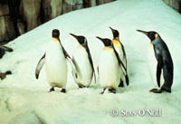 King Penguins in the Polar Ecosystem at the Biodme.  Sean O'Neill