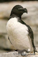 Razorbill Auk photo  Louis-tienne Dor
