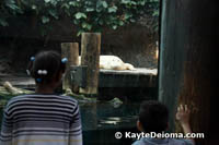 Spots, the white alligator is not a true albino because he has blue eyes.